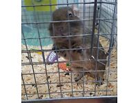 1 Lady Degu For Sale including Cage