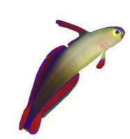Poisson Purple Firefish pour aquarium eau salee (saltwater)