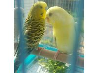 Budgies For Sale and Cage if needed
