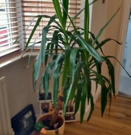 Large Indoor Yuka Plant