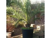 Huge Hardy Fan Palm (Trachycarpus fortunei) potted plant