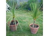 two nice garden palm plants id terracotta pots