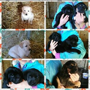 BLACK LAB AND SHEPHERD CROSS PUPS