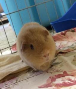"Young Female Small & Furry - Guinea Pig: ""Peaches"""