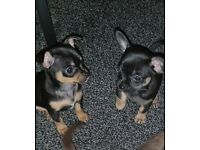 Two chihuahua puppys 8weeks old 1 boy and 1 girl ready too go at 12 weeks old.