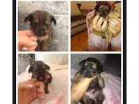 2 chorkie puppys for sale