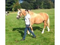 Stunning palomino registered Welsh sec D mare