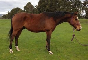 Thoroughbred Gelding Mernda Whittlesea Area Preview