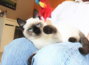 Ragdoll Siamese  kittens  are  available  for  adoption