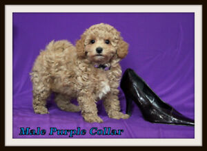 Poodle Or Toy Poodle Kijiji In Winnipeg Buy Sell