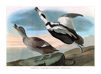 Labradorente Camptorhynchus labradorius Labrador Duck Meerenten Audubon A3 075