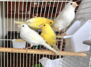 Selling beautiful singing young Germany Roller canary