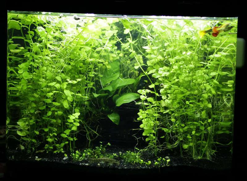 6 Lloydiella Golden Creeping Jenny Plant Easy Aquarium