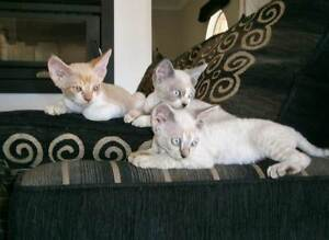 Devon Rex Kittens For Sale Canungra Ipswich South Preview