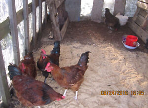 4 roosters