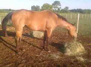 Qh gelding available for part board  London Ontario image 3