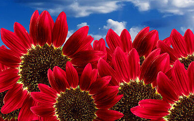 "Sunflower Seeds ""Red Sun"" Heirloom Flower Seeds Multiple Blooms & Branches 50ct"