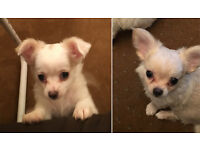 Chihuahua Long Haired Full Pedigree Puppies one Girl White one Boy Cream KC Registered