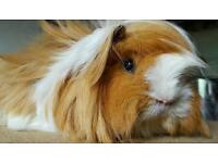 Pair of girl guinea pigs