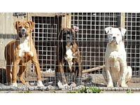 American bulldog x dogue de bordeaux