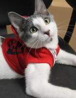 """Young Male Cat - Domestic Short Hair: """"Pommy"""""""