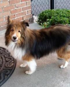 """Senior Female Dog - Shetland Sheepdog Sheltie: """"Chloe"""""""