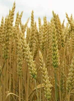 Heirloom Non-GMO Ancient Egyptian Wheat Seed (khorasan)