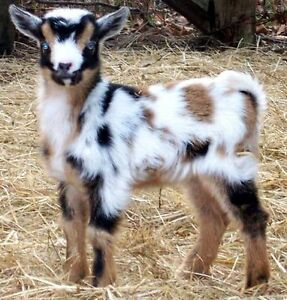 Recherche petite chèvre