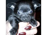 Black boy chihuahua