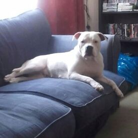 Hi i have a 22 month old female american bulldog looking for a new home