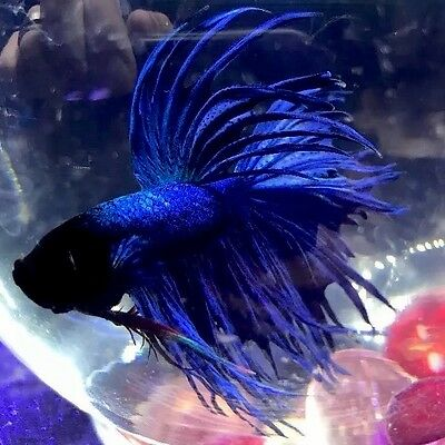 Live Tropical Fancy Blue Crowntail Betta - Siamese Fighting Fish
