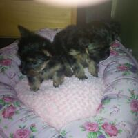 Beautiful purebreed t-cup and regular size Yorkie for Sale