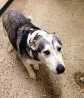 "Adult Male Dog - Husky: ""Ace - Adoption Pending"""