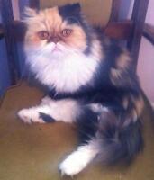 "Adult Female Cat - Persian: ""Buttercup"""