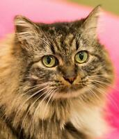 """Adult Female Cat - Maine Coon-Domestic Long Hair: """"Twiggy"""""""