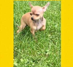 Chiot Chihuahua tea cup