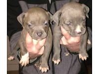 XL BULLY PUPS