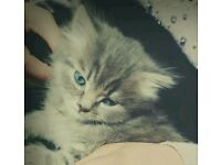Persian bengal x kittens