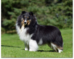 Lost Sheltie (miniature Collie)