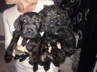 Patterdale pups