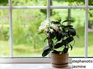 Stephanotis, Blooming Jasmine, Pilea,  bird nest fern,etc