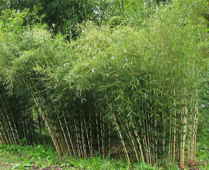 FREE BAMBOO PLANTS