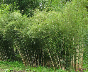 Fargesia Yunnanensis Borinda Rare Bamboo 15 Fresh Plant Seeds