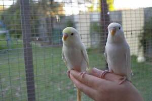 Hand reared Baby Budiges Metford Maitland Area Preview