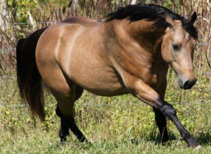 Stud Quarter Horse Stallion for Service Work Scone Upper Hunter Preview