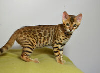 2 Beautiful Female Bengal Kittens Available
