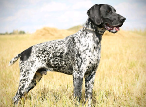Looking for German shorthaired pointer
