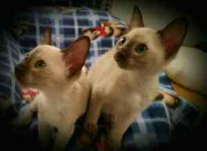 Chatons Siamois-Siamese kittens