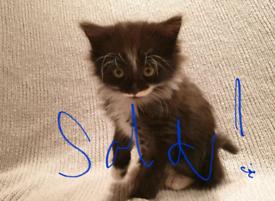 SOLD -Long haired Fluffy Tuxedo Kitten