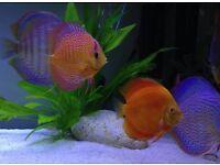 """Discus fish 5"""""""